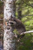 Baby Raccoon In Tree — Stock Photo