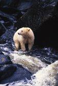 Bear Standing In Rocky Stream — Stock Photo