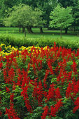 Salvia Field In Bloom — Stock Photo