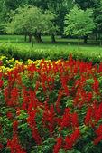 Salvia Field In Bloom — Stok fotoğraf