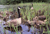 Canada Geese With Goslings — Stock Photo