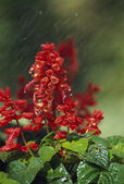 Salvia Plant — 图库照片