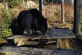 Black Bear Looking For Food — Stock Photo