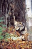 Timber Wolf — Stock Photo