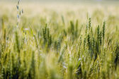 Heads Of Wheat — Stockfoto