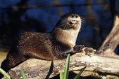 River Otter On Driftwood — Stock Photo
