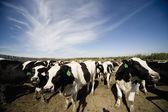 Mandria di bovini — Foto Stock