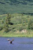 Moose Swimming In Lake — Stock Photo