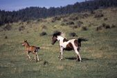 Mare Running With Colt — Stockfoto