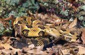Timber Rattlesnake — Stock Photo