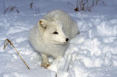 Arctic Fox In Snow — Stock Photo