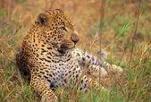 Leopard Lying In Grass — Stockfoto