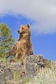 Grizzly Bear Sitting Up — Stock Photo