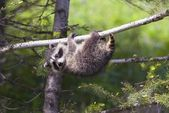 Baby Racoon In Tree — Stock Photo