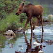 Stock Photo: Moose Calf Walking In Stream
