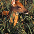 Stock Photo: Young Deer Laying In Grass