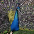 Stock Photo: Peacock With Plumage