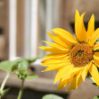 Sunflower — Stock Photo #31720183