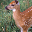 Whitetail Deer Fawn — Stock Photo #31720301