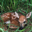 White-Tailed Fawn Curled Up In Grass — Stock Photo #31720443