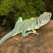 Stock Photo: Collared Lizard On Rock
