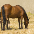 Stock Photo: Mare And Foal Feeding