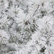 Stock Photo: Pines Covered In Frost