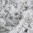 Stockfoto: Pines Covered In Frost