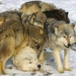 Foto de Stock  : Wolf Pack Interaction