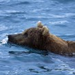 Grizzly Bear Swimming — Stock Photo #31720815