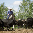 Rounding Up Cattle — Stock Photo #31720909