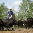 Rounding Up Cattle — Stock Photo
