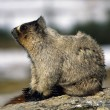 Stock Photo: Hoary Marmot