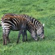 Two Zebras Feeding In Tandem, Ngorongoro Crater — Stock Photo #31721257