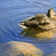 Stock Photo: Duck Swimming In Pond