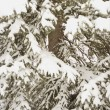 Stock Photo: Snowy Branches