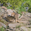 Stock Photo: Wolf Cubs And Mother At Den Site