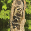 Stock Photo: Raccoons In Tree