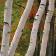 Stock Photo: Birch Tree Trunks In Fall