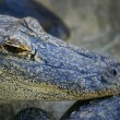 Alligator Portrait — Stock Photo #31721821