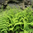 Stock Photo: Hay Scented Fern