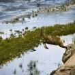 Stock Photo: Mountain Goat Leaping Of Rocks Edge