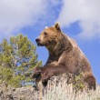 Stock Photo: Grizzly Bear Looking Over Valley