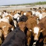 Herd Of Cows — Stock Photo