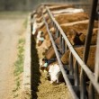 Stock Photo: Cattle At Feeding Trough