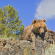 Stock Photo: Grizzly Bear Laying On Cliff