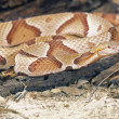Foto de Stock  : Northern Copperhead Snake