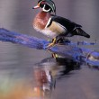 Wood Duck Drake On Log In Water — Stock Photo #31722559