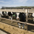 Stock Photo: Cows At Trough