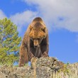 Stock Photo: Grizzly Bear Standing On Ridge